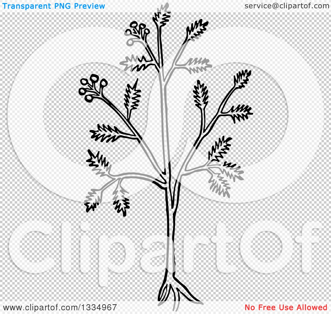 Clipart of a Black and White Woodcut Herbal Caraway Persian Cumin.