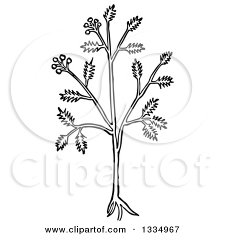 Clipart of a Black and White Woodcut Herbal Cumin Plant.