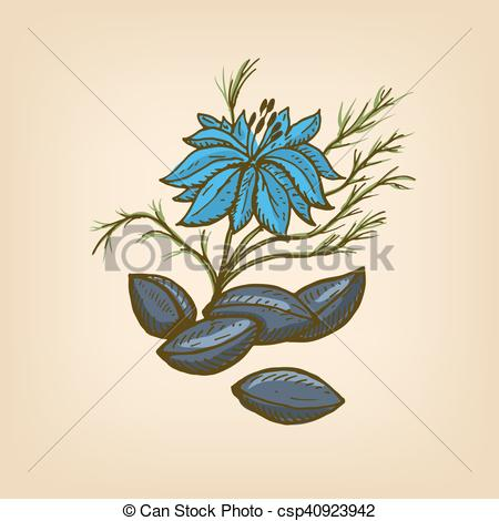 EPS Vector of Nigella or Black cumin. Vector illustration. Hand.