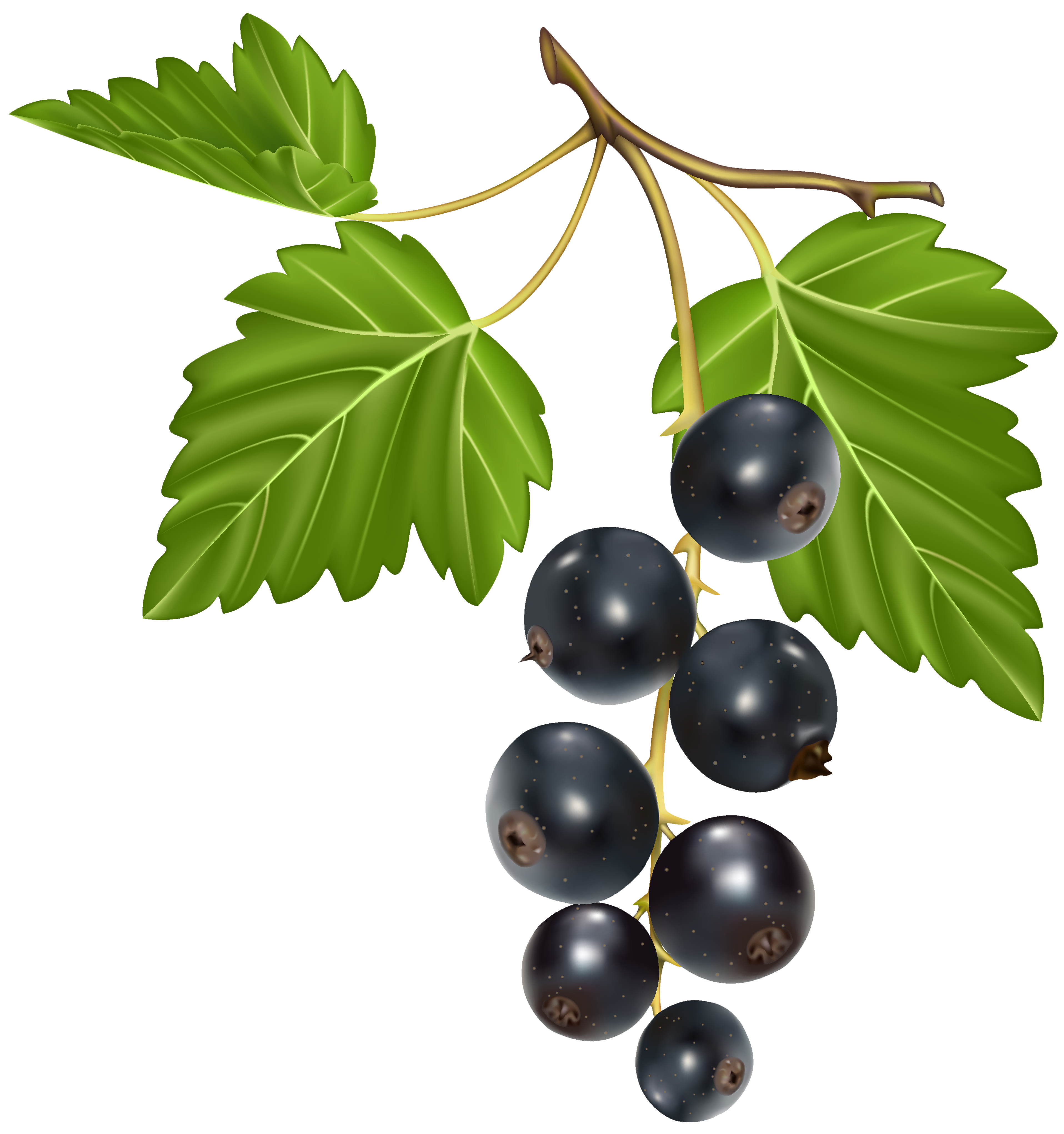 Blackcurrant PNG Vector Clipart Image.