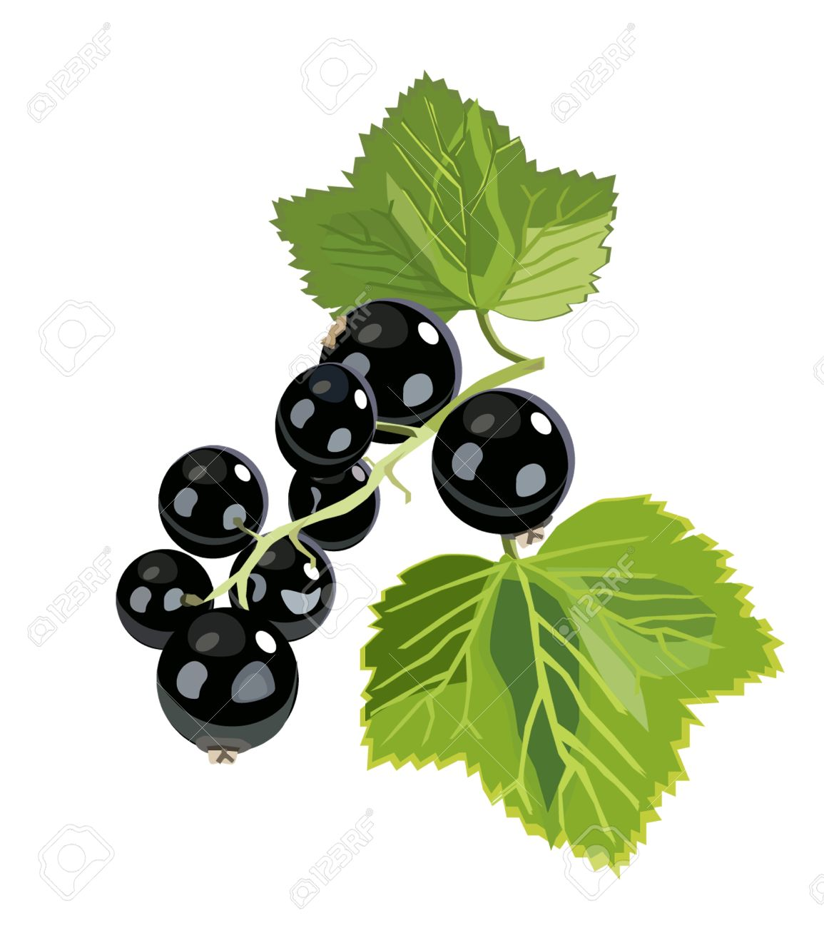 Vector Branch Of Black Currant Royalty Free Cliparts, Vectors, And.