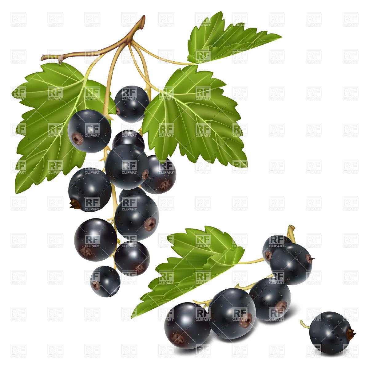 Berries of black currant Vector Image #91174.