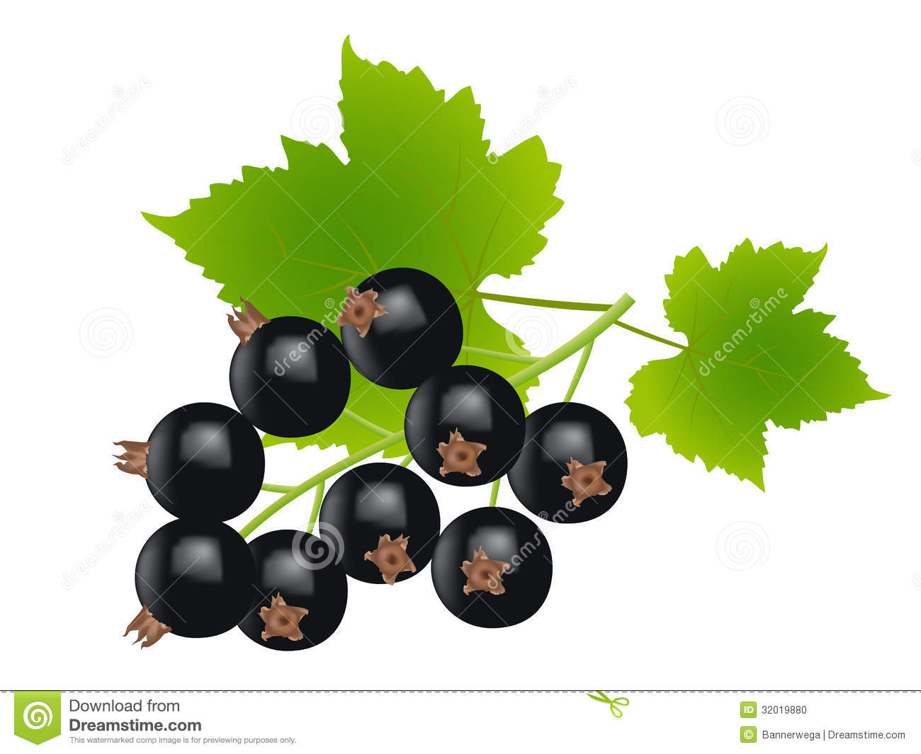 Black Currant Stock Illustrations.