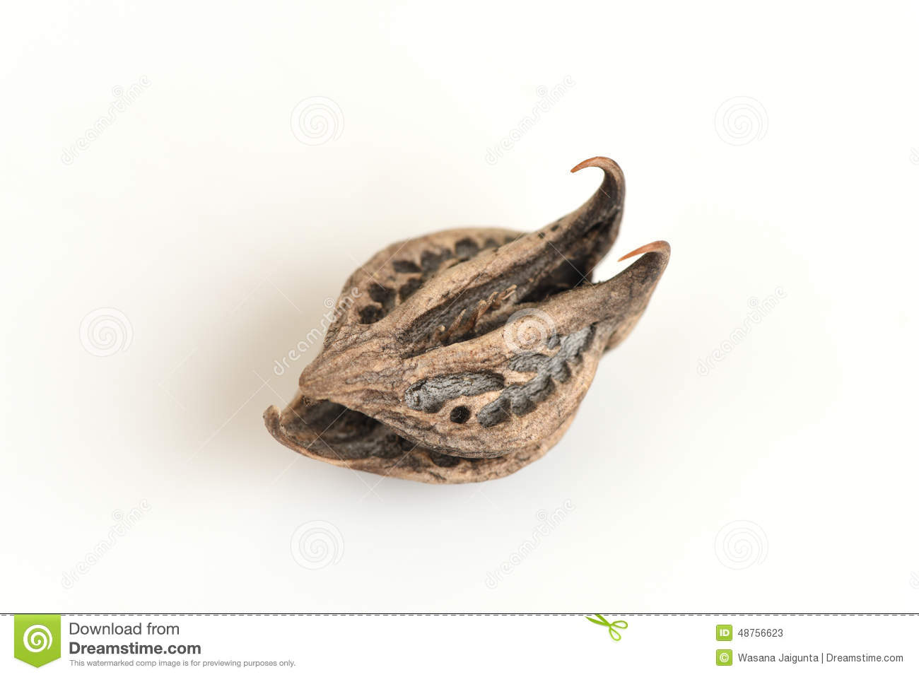 Tiger's Claw, Devil's Claw (Martynia Annua L.), Seeds. Stock Photo.