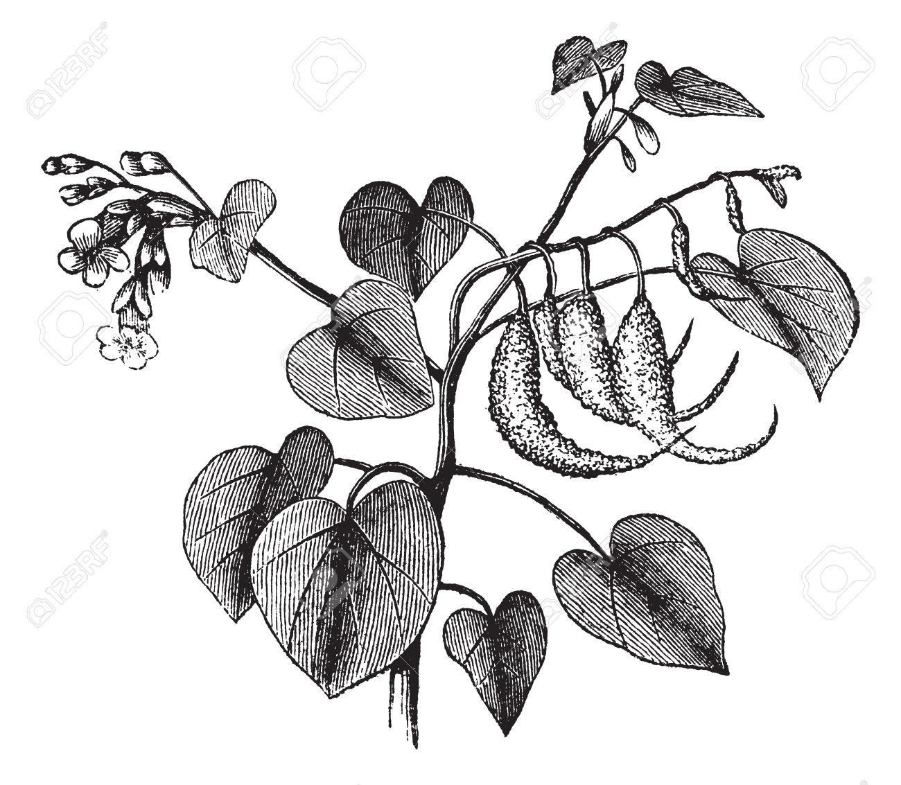 Ram's Horn Or Proboscidea Louisianica Or Martynia Proboscidea.