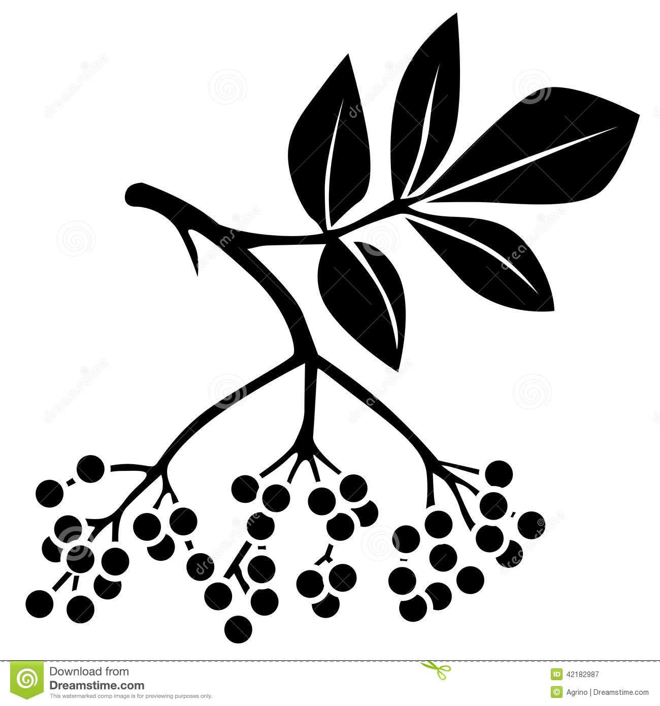 Elderberry Stock Illustrations.