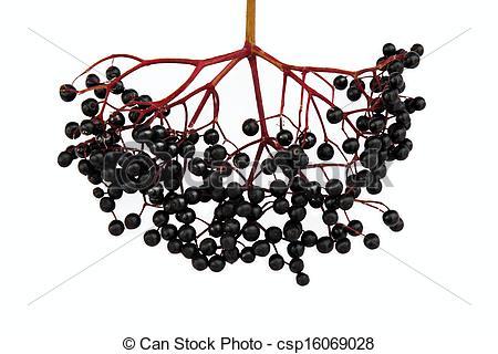 Stock Photo of Black Elderberry.