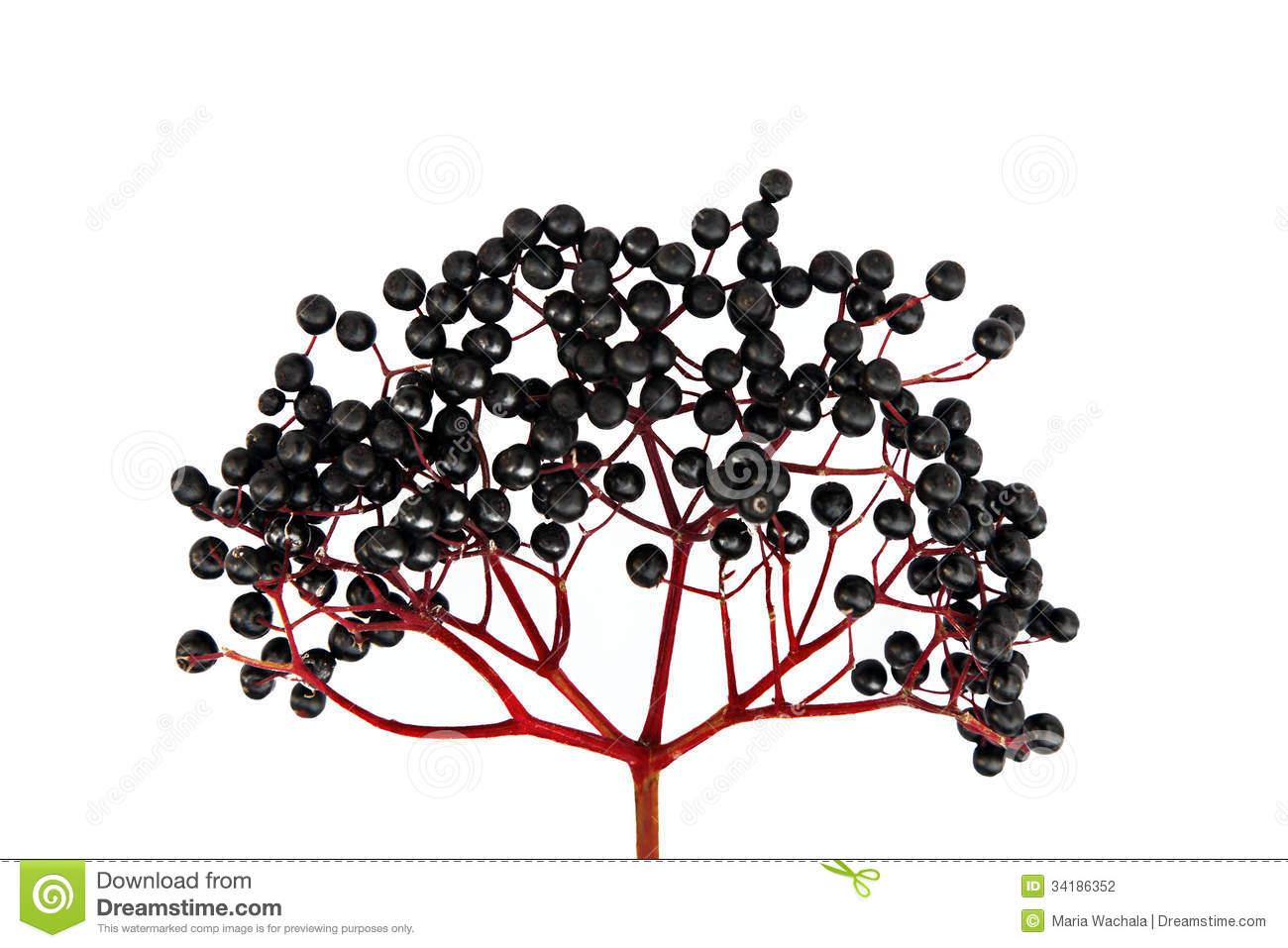 Black Elderberry Isolated Stock Photography.