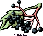 elderberry Vector Clipart.