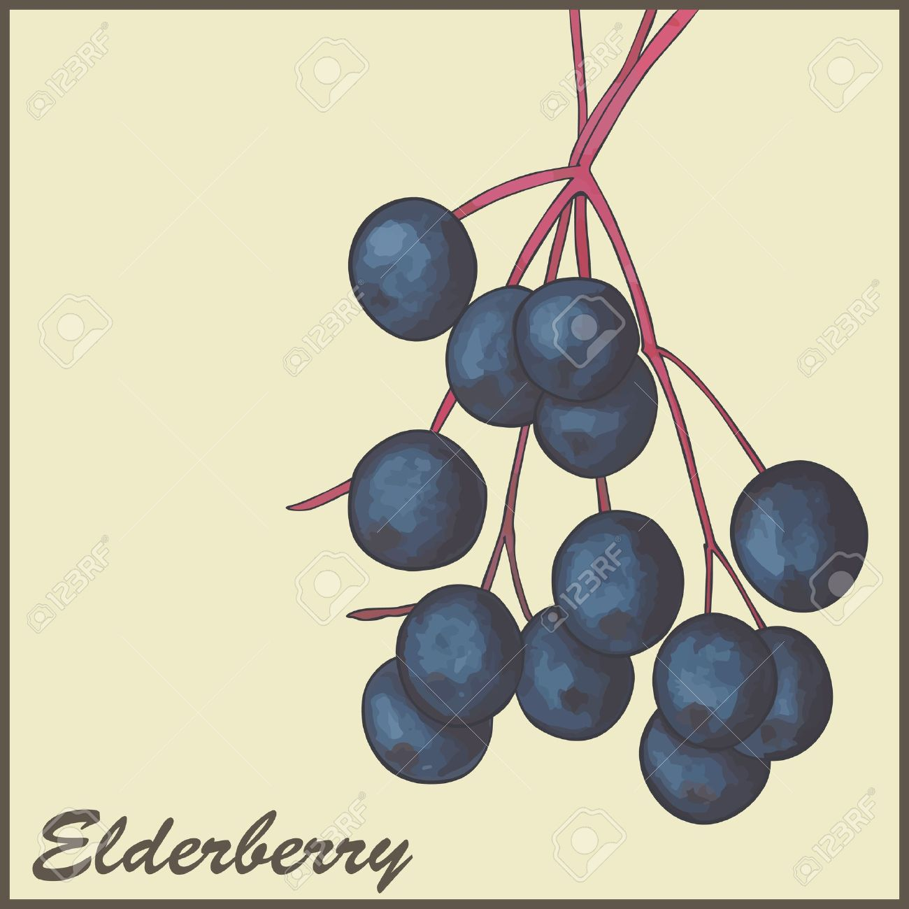 Elderberry fruit clipart.
