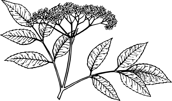 Elderberry clip art Free Vector / 4Vector.