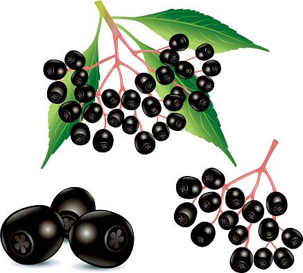 Elderberry fruit clipart.