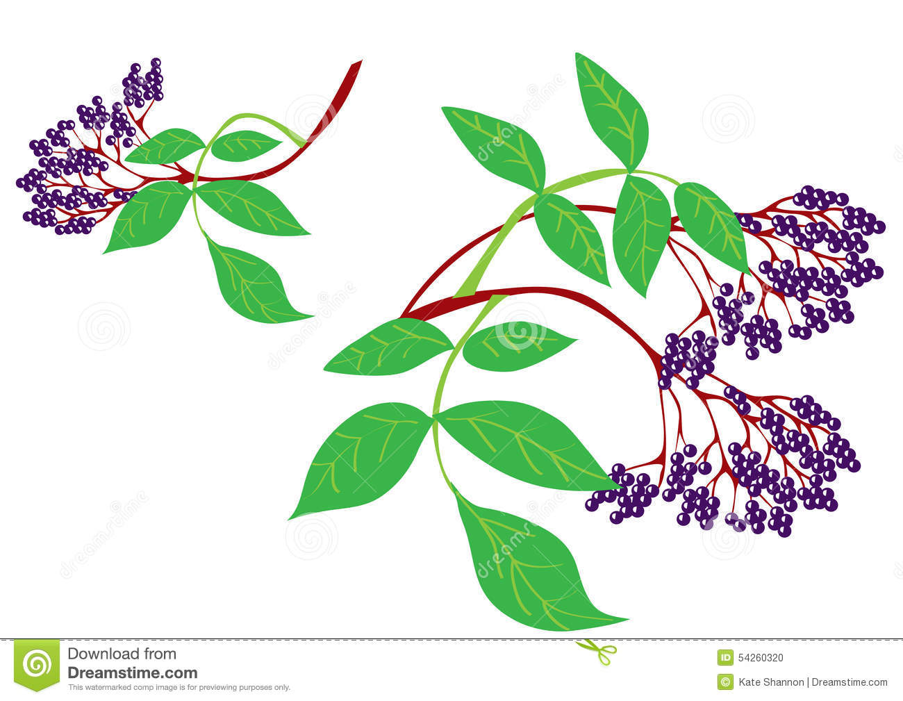 Elderberry Stock Illustrations.