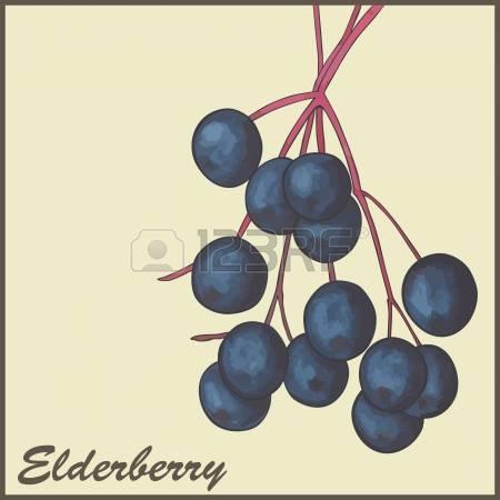 163 Elderberry Cliparts, Stock Vector And Royalty Free Elderberry.