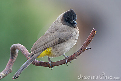 Black Eyed Bulbul Stock Photos, Images, & Pictures.