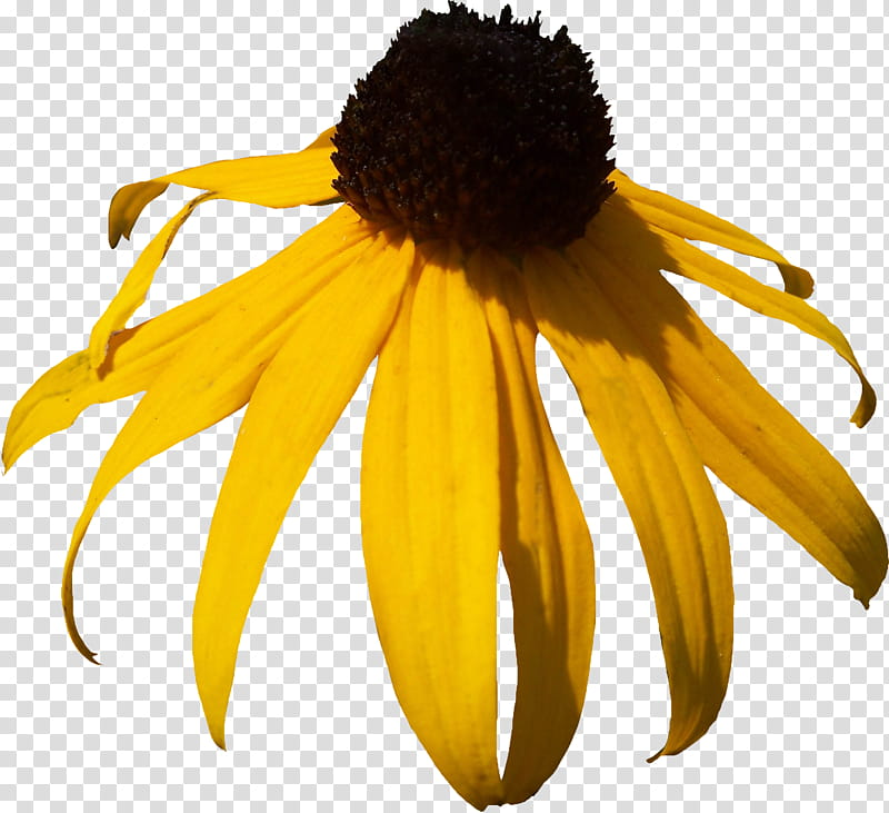 Black Eyed Susan transparent background PNG clipart.