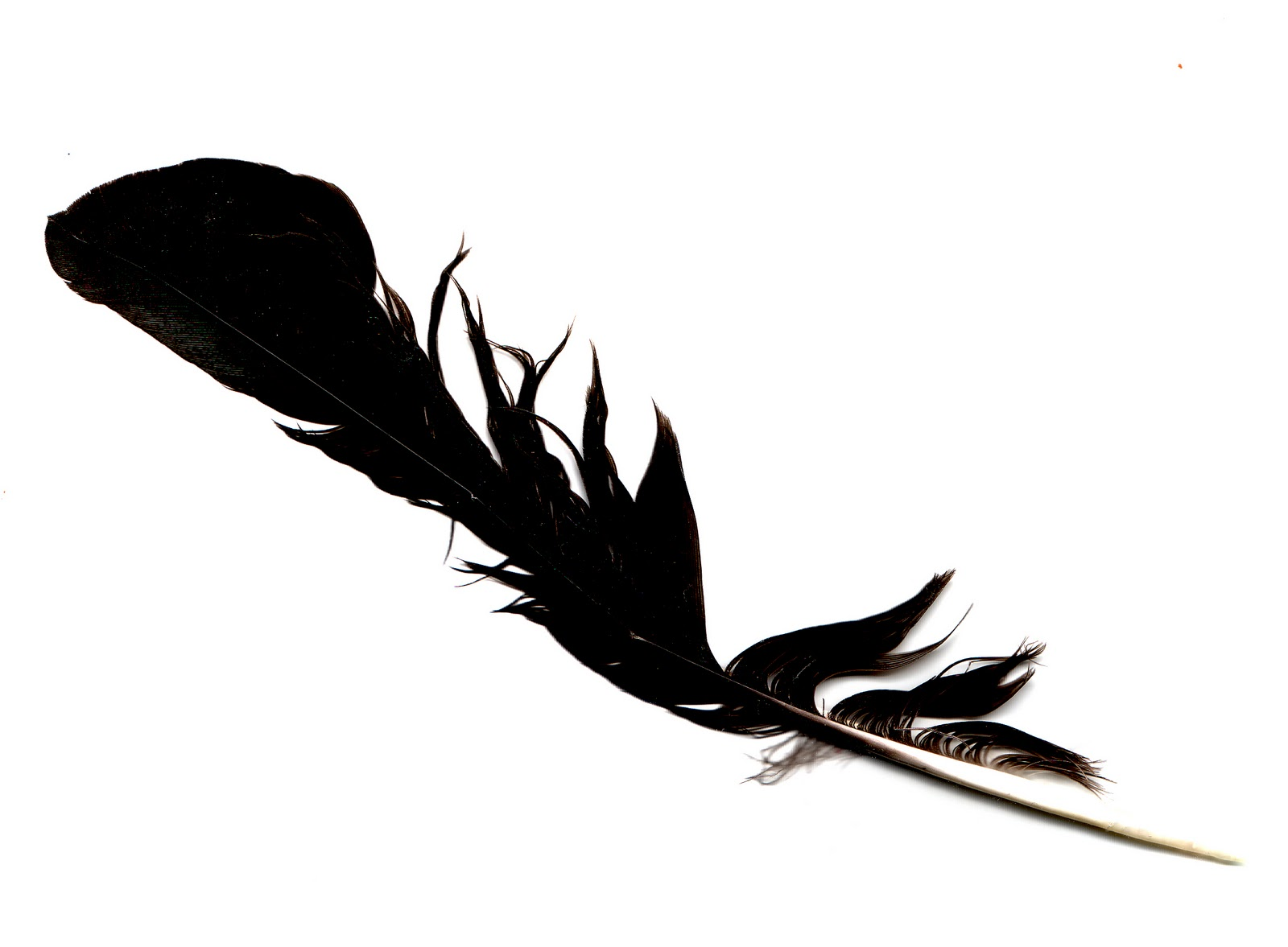 Black Feathers Png (110+ images in Collection) Page 3.