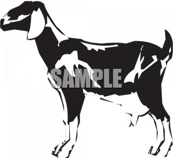 Black and White Milk Goat.
