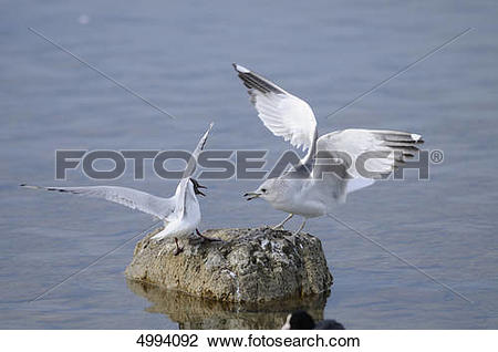 Stock Photo of European Herring Gull (Larus argentatus) and Black.