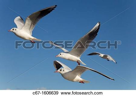 Stock Photograph of Black Headed Gulls Larus Ridibundus in flight.