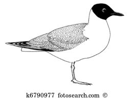 Black headed gull Clipart and Stock Illustrations. 8 black headed.