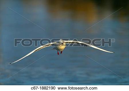 Stock Photography of Black headed Gull Larus ridibundus Autumn.