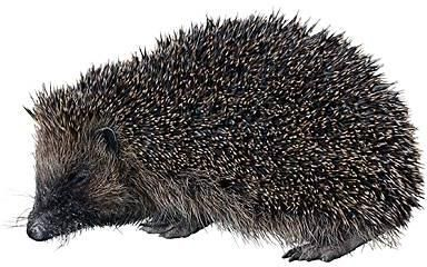 Best Hedgehog Clipart #18756.