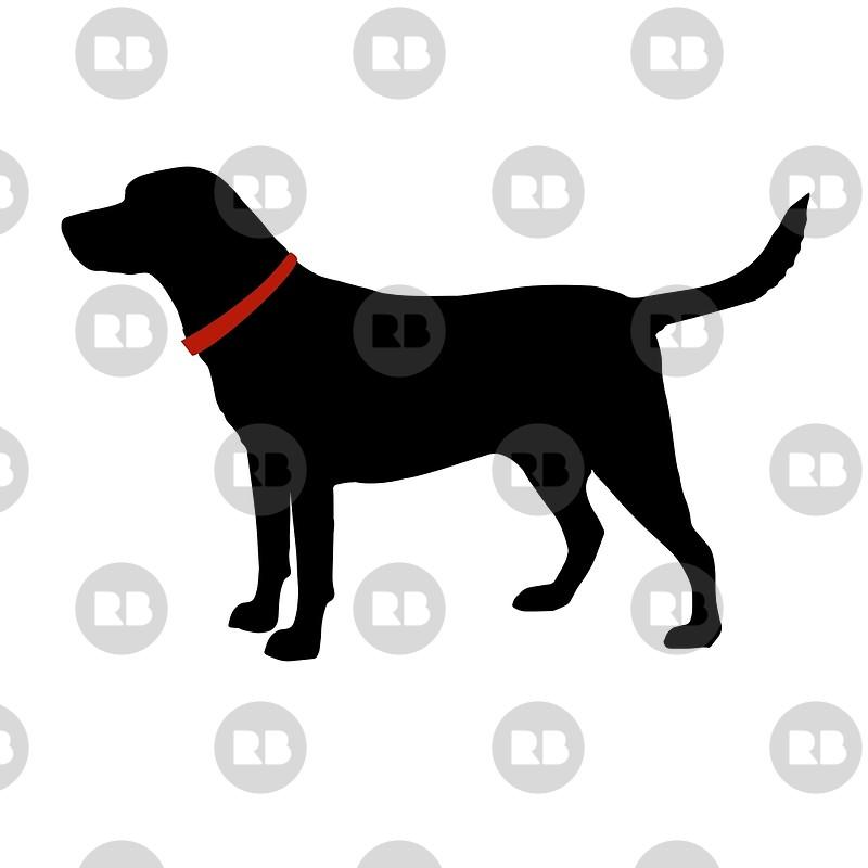 Labrador Retriever, Black Lab.