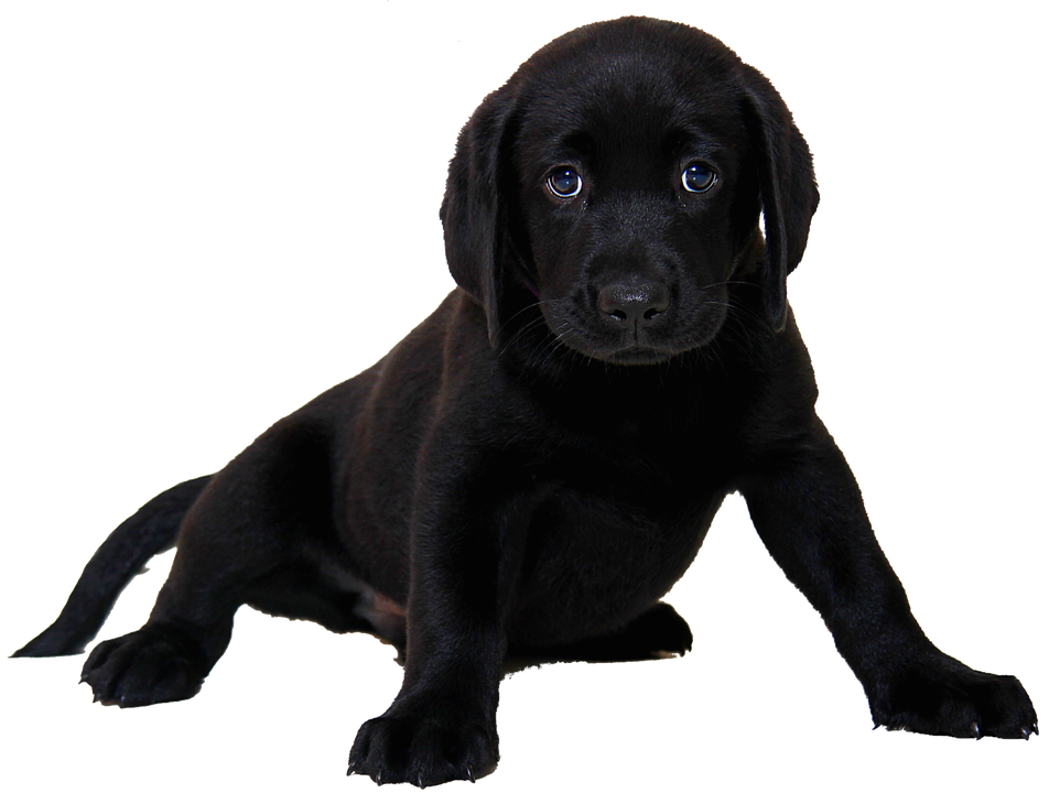 14 cliparts for free. Download Puppy clipart black lab puppy and use.