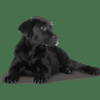 Black Labrador transparent background.