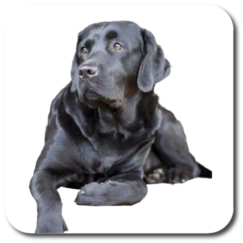 Dog,Mammal,Vertebrate,Canidae,Dog breed,Labrador retriever,Carnivore.