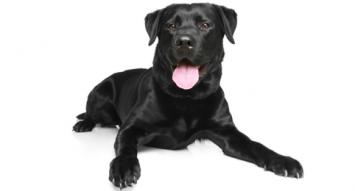 Labrador Retriever Dog Breed Profile.