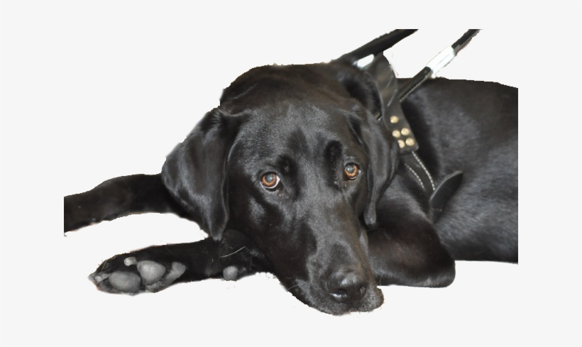 Black Lab Guide Harness No Background.