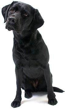 About the Labrador Retriever.