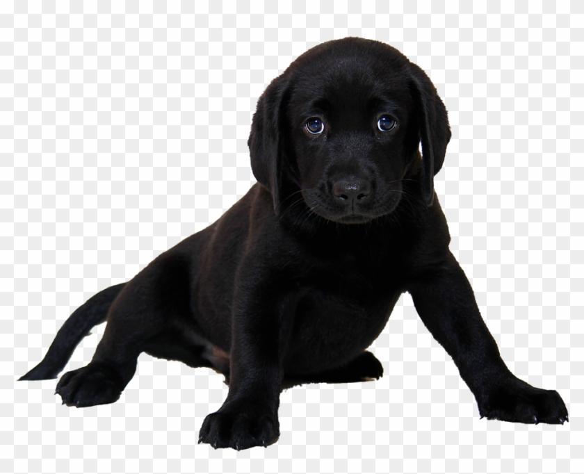 Isolated Labrador Dog Animal Purebred Dog Puppy.