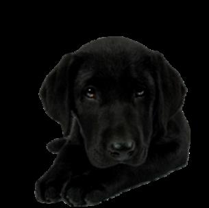 Dog,Dog breed,Canidae,Labrador retriever,Mammal,Black,Retriever.