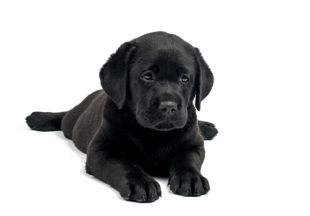 Black Lab Png, png collections at sccpre.cat.
