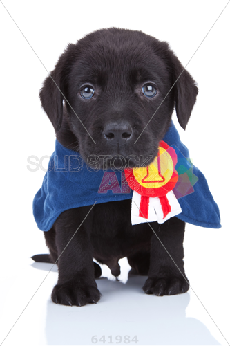 Stock Photo of Little champion cute black labrador puppy wearing a  champions cape on white background.