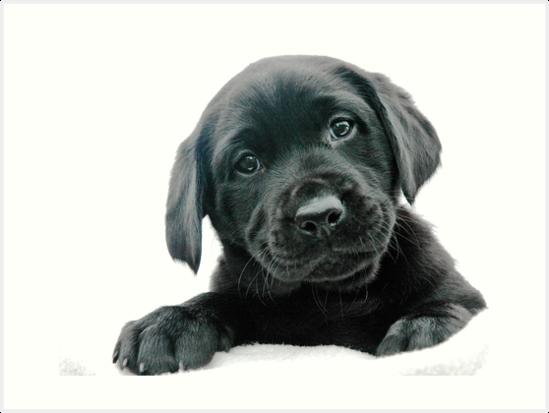 Dog,Mammal,Vertebrate,Dog breed,Canidae,Labrador retriever,Puppy.