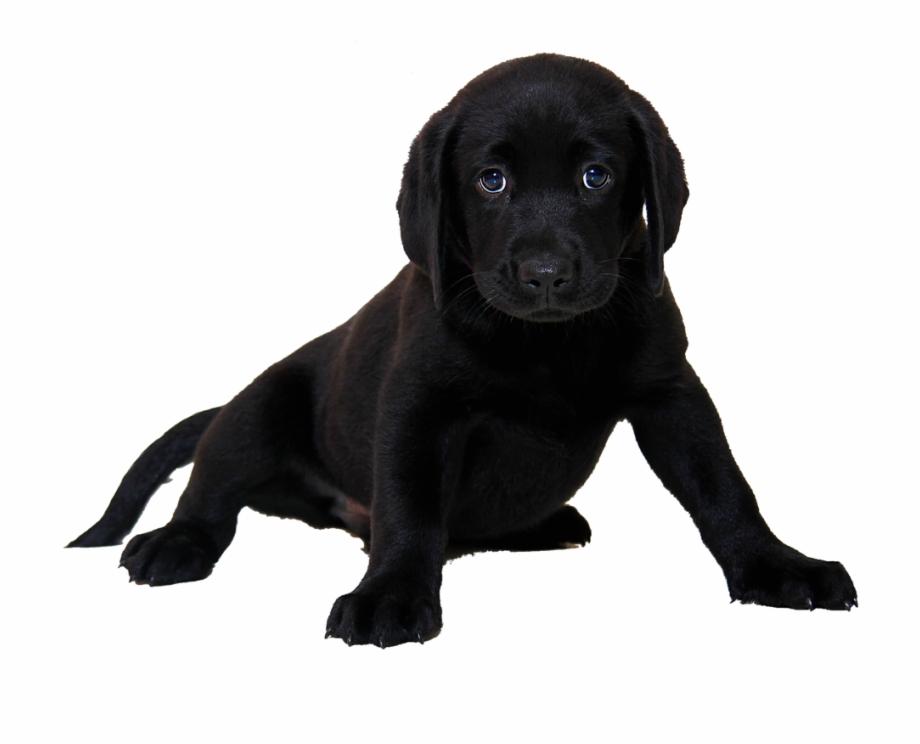 Isolated, Labrador, Dog, Animal.