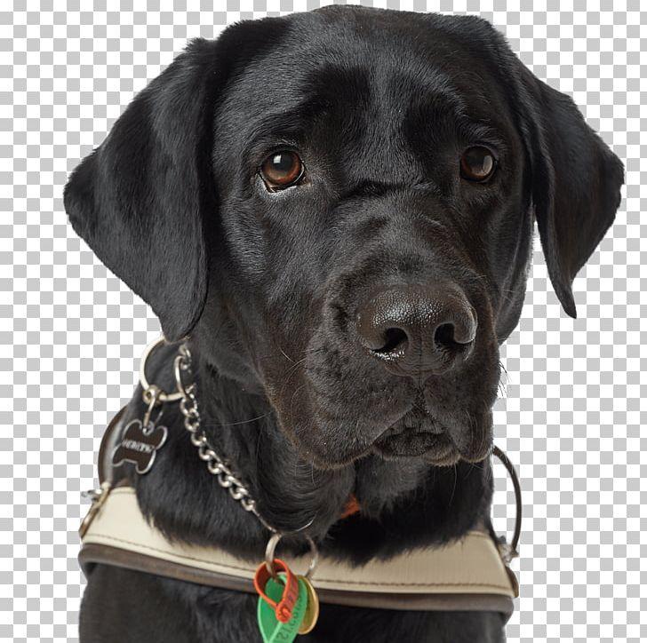 Labrador Retriever Dog Breed Guide Dog Dog Collar Black Dog.