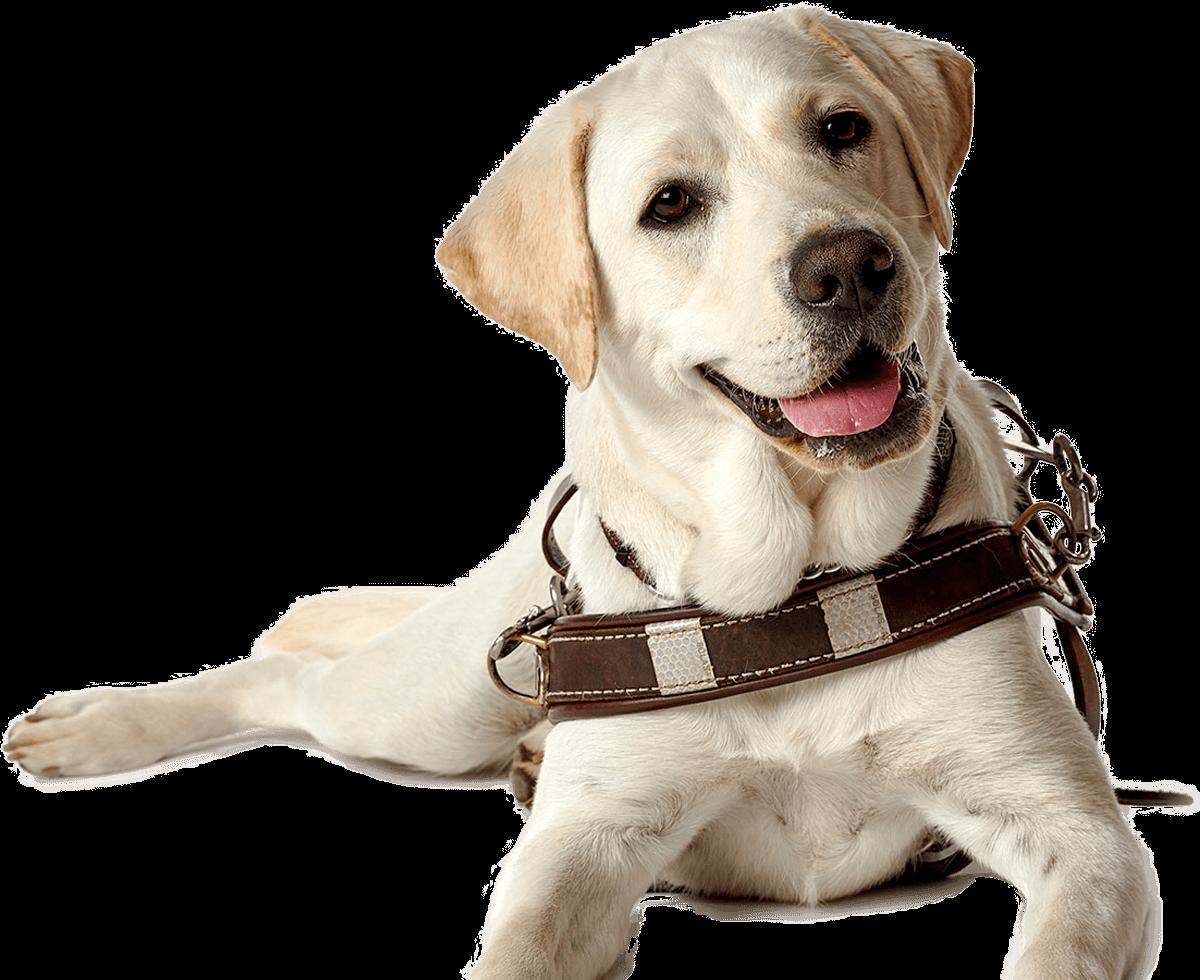 Labrador Retriever Puppy Guide dog Companion dog Dog breed.