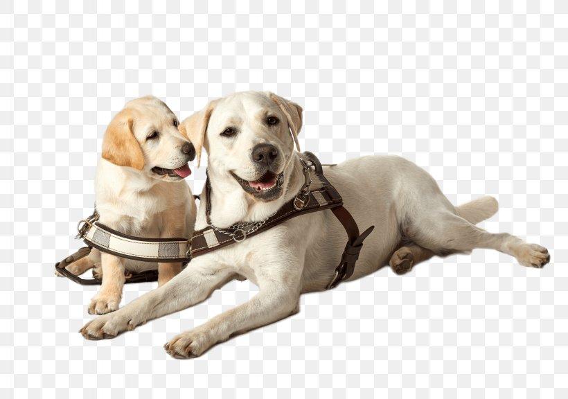 Labrador Retriever Golden Retriever Puppy Guide Dog Guide To.