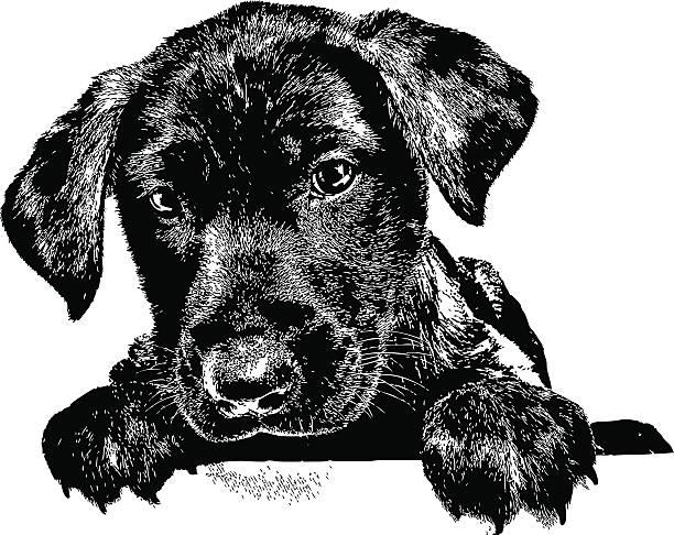 Best Labrador Retriever Illustrations, Royalty.