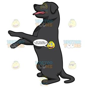 Black Labrador Sitting Up With Its Front Paws Off The Ground.