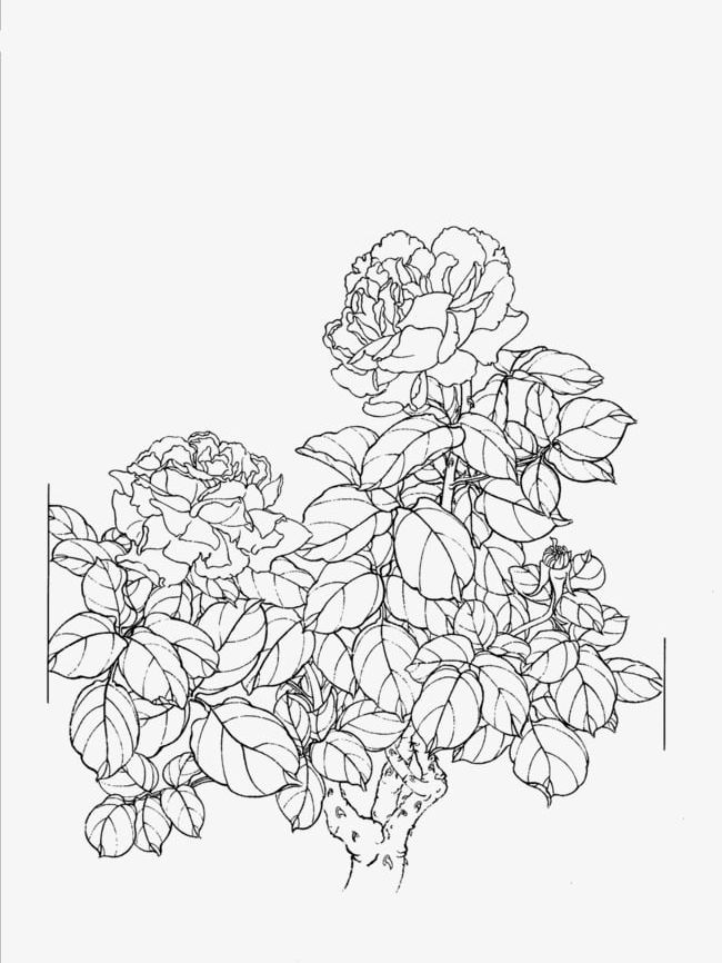 Peony Flower Line Drawing PNG, Clipart, Artwork, Chinese.