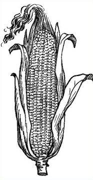 Free Corn Clipart.