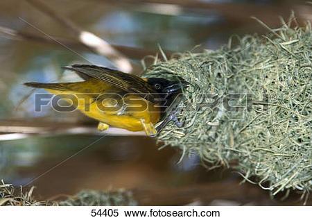 Stock Image of Lesser Masked Weaver (Ploceus intermedius) bird.
