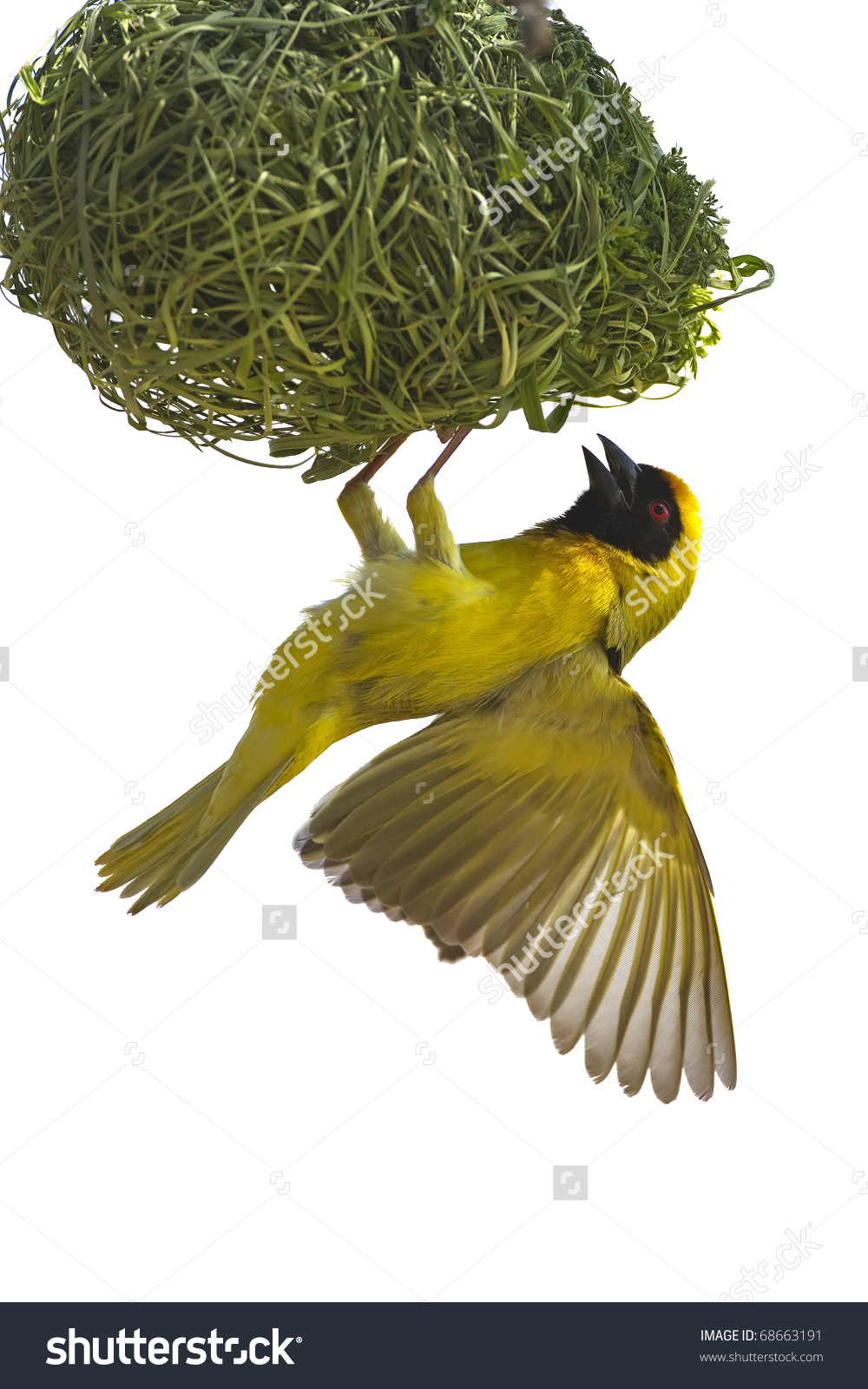 Masked Weaver Hanging Nest Against White Stock Photo 68663191.