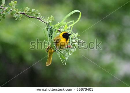 Weaver Bird Nest Stock Images, Royalty.